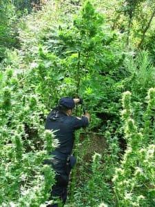 20.06.2015 - sequestro cannabis