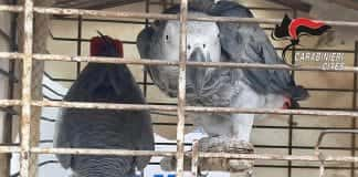 pappagalli procida cites